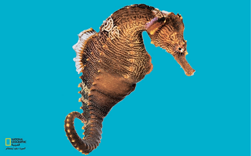 يشتهر فرس البحر بالكثير من الغرائب فالذكور وليس الإناث هي التي تحمل وتضع الصغار.
