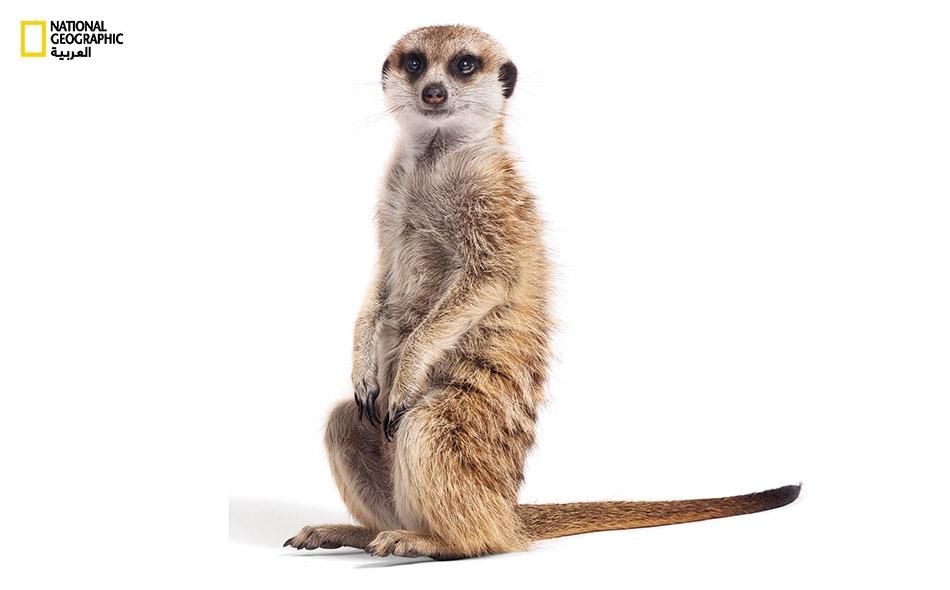 تتغذى حيوانات السُّرقاط أساساً بالحشرات والقوارض الصغيرة في الطبيعة، فضلا عن العقارب.. بعد قطع شوكتها.