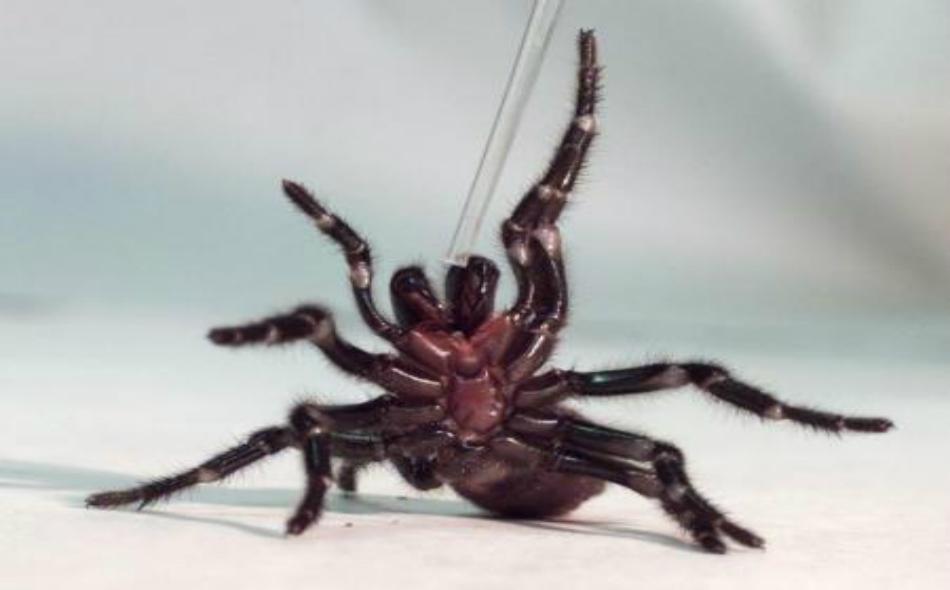 أحد العناكب ذات البيوت القمعية الشكل في حديقة الزواحف الأسترالية بسيدني.