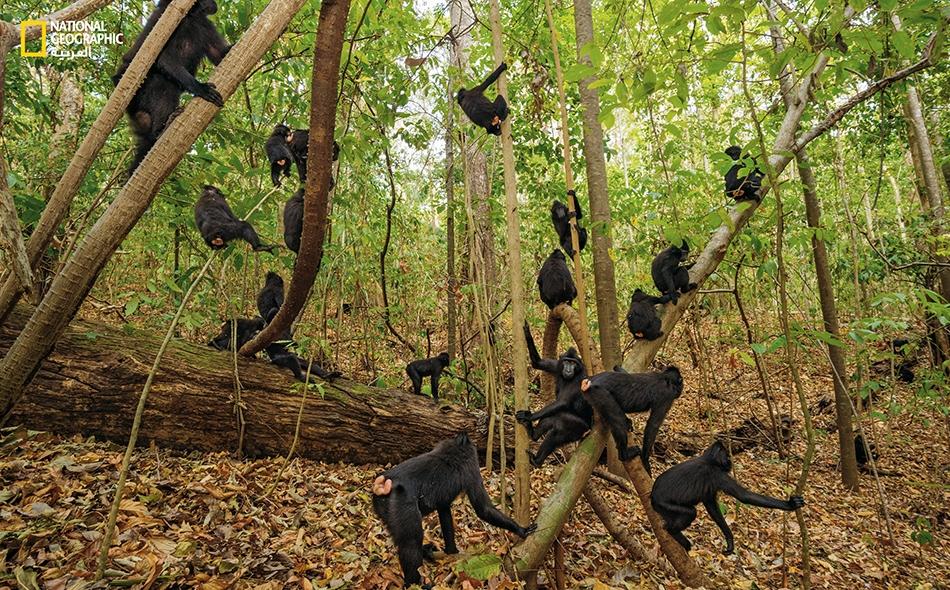 """تقضي هذه القِردة -الاجتماعية بطبعها- يومها متجولةً في غابات """"محمية تانكوكو الطبيعية""""، حيث تتناول الطعام وتعتني بشكلها وتتسكع لاهيةً لاعبة."""