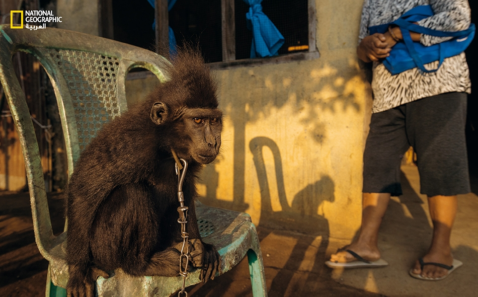 """منذ أن سُرقت القردة اليافعة """"نونا"""" (وتعني: الآنسة) من البرية وهي تعيش مقيّدة بالسلاسل لدى إحدى العائلات في """"كوميرسوت""""."""
