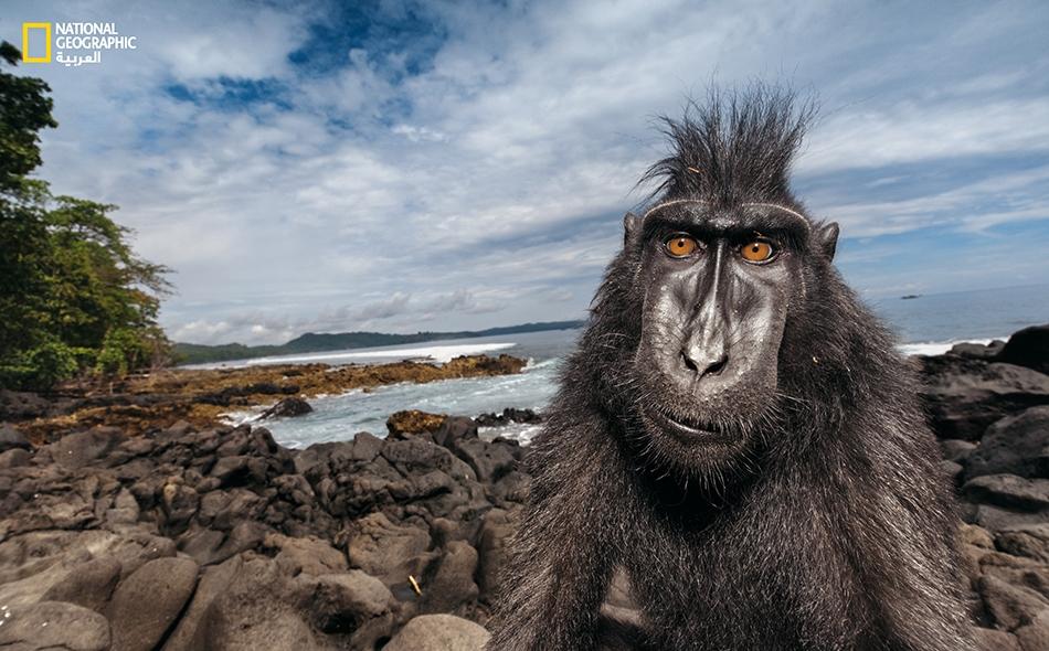 """مكاك أسود ذو قُنزعة يتسكع بمحاذاة شاطئ في محمية طبيعية بجزيرة """"سولاويزي"""". يَدرس العلماء هذه القردة الفاتنة المثيرة للاهتمام -والمعروفة محلياً باسم """"ياكي""""- ليعرفوا مدى تأثير نظامها الاجتماعي في أنماط سلوكها."""