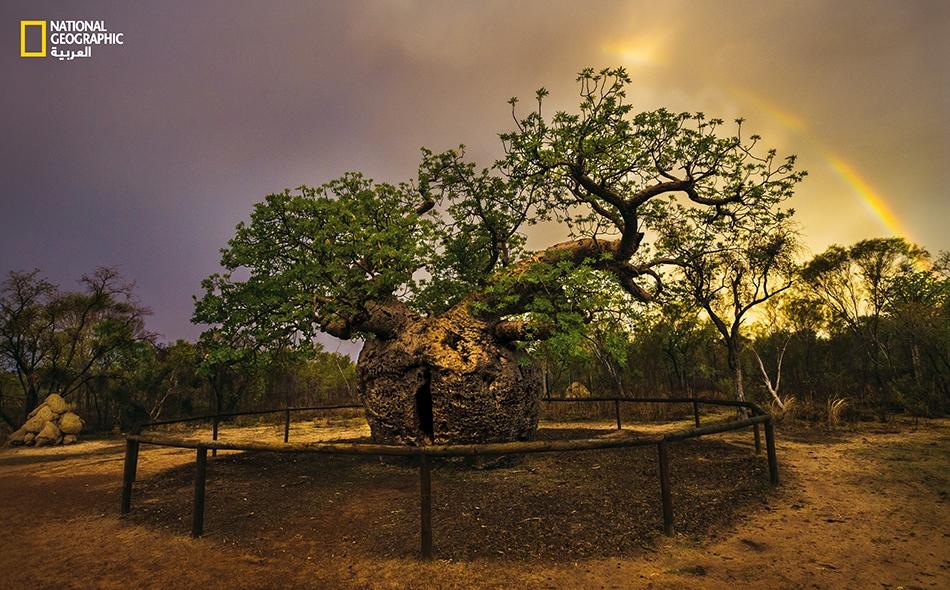 تتميز شجرة التبلدي (Adansonia gregorii) بشكلها المنتفخ الثخين والجاثم؛ وقد ظلت على الدوام تهب الماء والغذاء والدواء والمأوى للسكان الأصليين. بل إنها عادة ما تكون مثواهم الأخير بعد الممات، ومنهم من يعتبرها شجرة مقدسة.