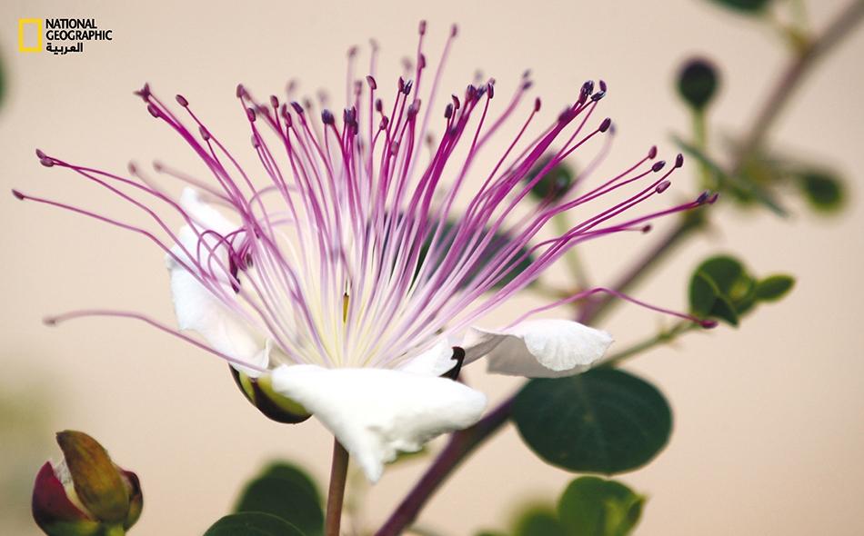 زهرة القَبَّار (Capparis spinosa)
