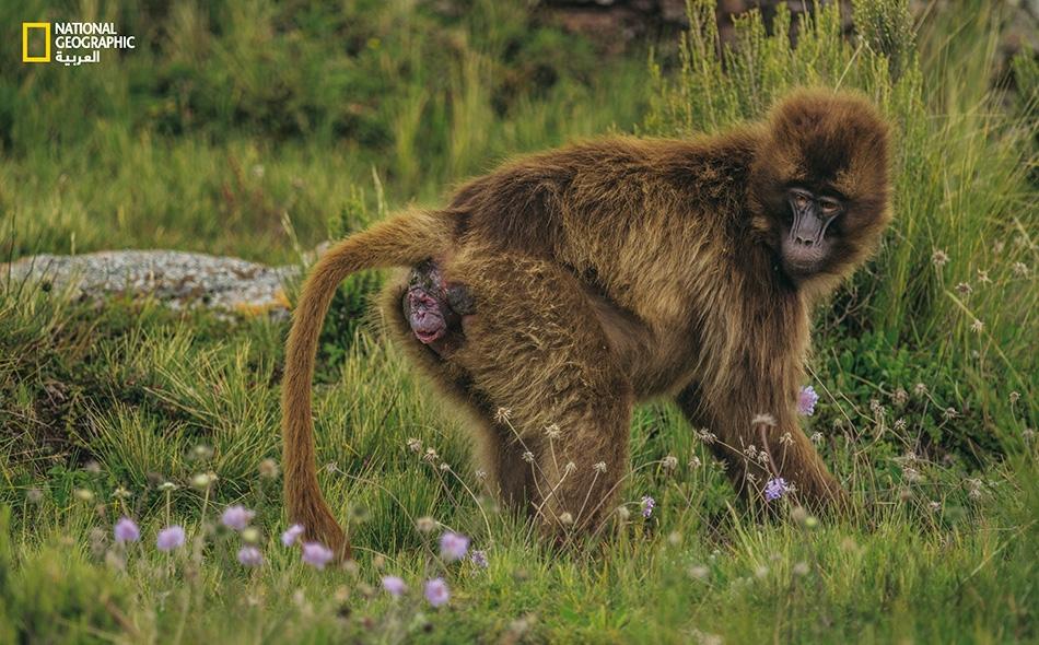 """عندما يحين أوان الولادة، فإن إناث أبو قلادة -المعروفة بطبعها الاجتماعي الكبير في منطقة """"غواسا""""- عادةً ما تنعزل لتتفادى السلوك العدواني للقردة الأخرى؛ وتبقى صامتة في محاولة للإفلات من بطش الحيوانات المفترسة."""