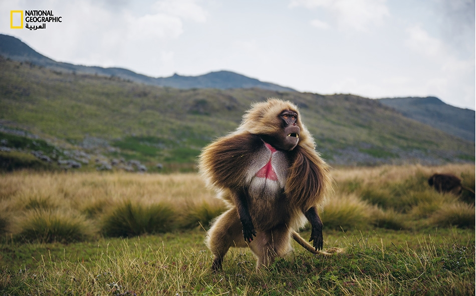 عُرف طويل وكأنه رداء من شَعر ينسدل أسفلَ من كتفَي ذكر أبو قلادة بالغ. يظن العلماء أن هذا الفرو، كما هي رقع الجلد الحمراء على الصدر، ربما يُشكل إشارة جنسية تثير انتباه الإناث إلى فحولة الذكر.