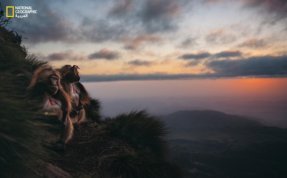 ذَكران من أبو قلادة يجلسان في مكان يطل على مشهد طبيعي لا شك أنه في طور التغيّر. فنطاق النشاط الفلاحي بدأ يتوسع في إثيوبيا فيبتلع المزيد من المروج الشاسعة.