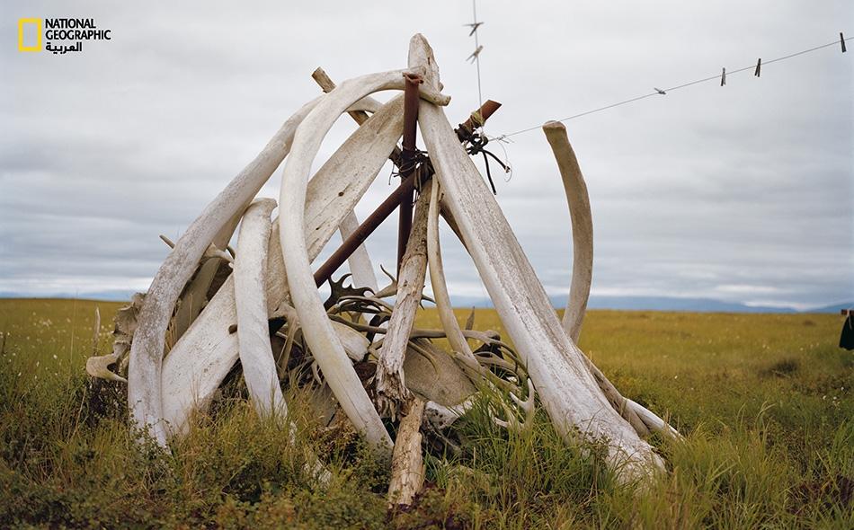 """تتكدس عظام الحيتان المُبيَضّة بفعل عوامل الطقس حول أعمدة تحمل حبال الغسيل في مكان بقرية """"كوينهاك"""". ويُرجَّح أن البحر لفظ العظام في أحد الشواطئ القريبة."""