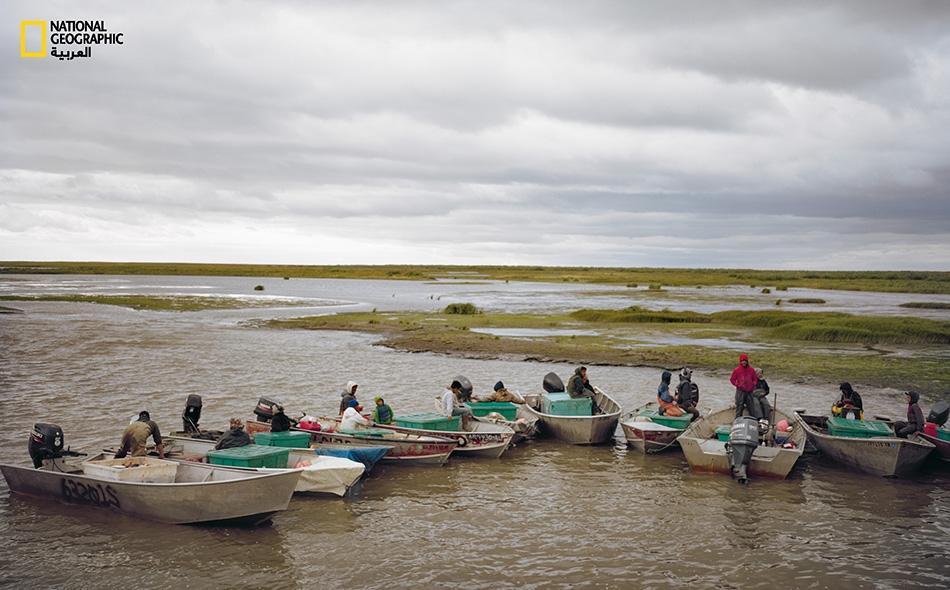 يصطف الصيادون من أجل وزن صيدهم خلال موسم السلمون التجاري لعام 2015. يؤمِّن لهم هذا العمل الجزء الأكبر من مداخيلهم السنوية، لكنه قد يكون توقف اليوم أو يكاد.