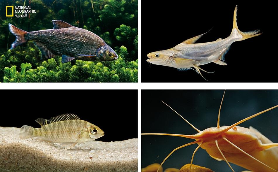 بعض أسماك المياه العذبة (بالترتيب، وفق اتجاه عقارب الساعة بدءًا من اليسار الأعلى): الأبراميس الشائع؛ البنغاسيوس العملاق؛ السلَّور المشّاء؛ البلطي.