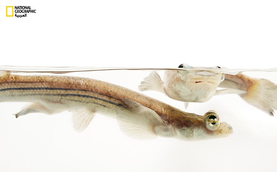 """تنتشر أسماك """"رباعي الأعين"""" في المياه العذبة أو قليلة الملوحة بالساحل الأطلسي لأميركا الوسطى والجنوبية."""