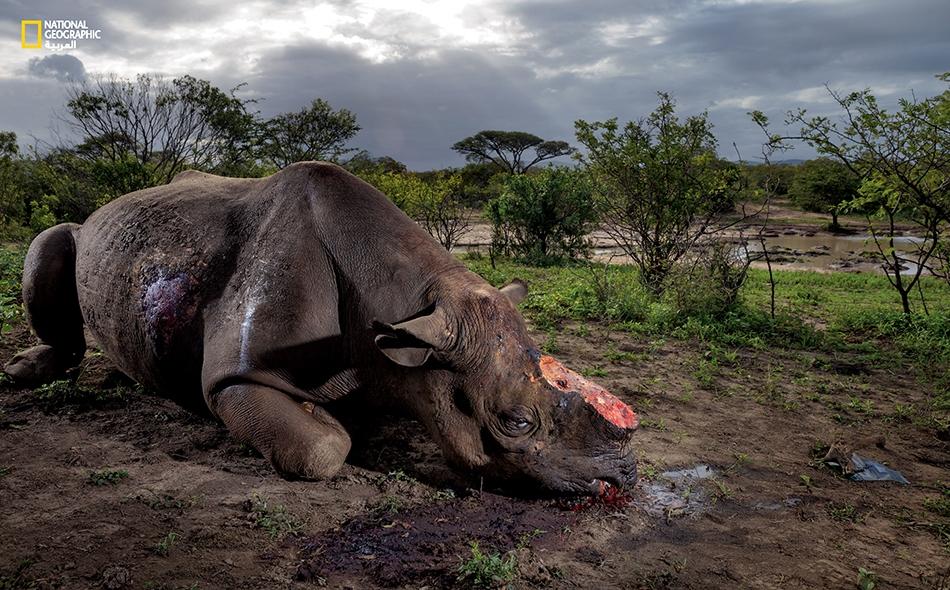 """وحيد قرن أسود مقتولاً في منتزه """"هلوهلوي- إمفولوزي الوطني"""" في جنوب إفريقيا."""