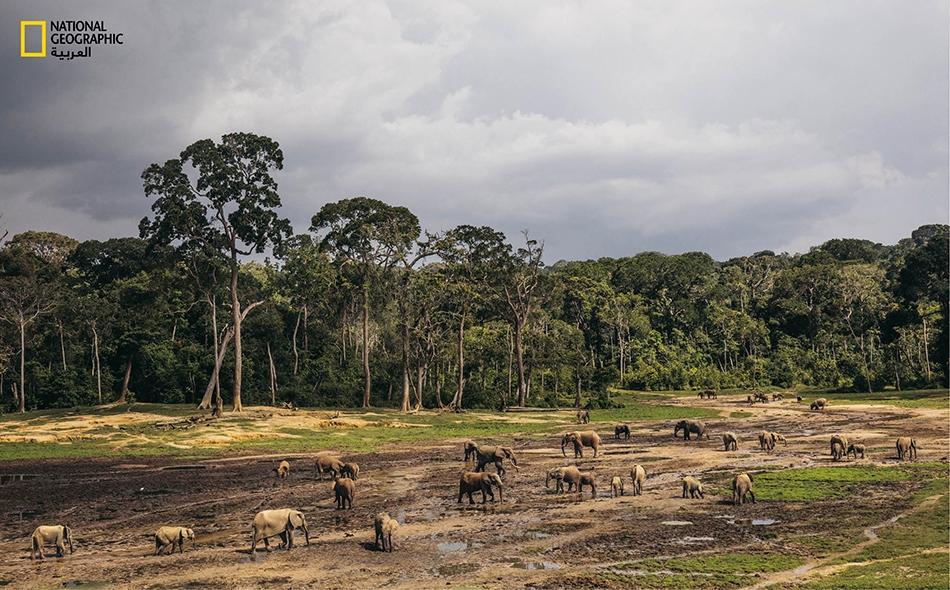 """فيَلة الغابِ تجتمع في """"محمية زانغا سانغا الخاصة""""، التي تشكل ملاذاً يؤوي هذا النوع. في العام الذي سقطت فيه الحكومة، قتل الصيادون غير القانونيين 26 فيلاً هنا."""