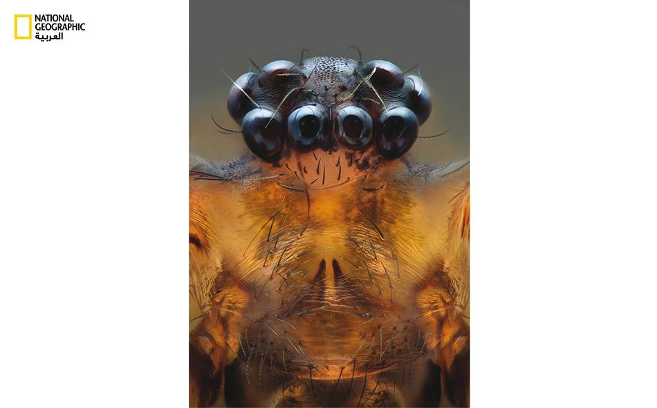 """عنكبوت القبو: كما يدلُّ اسمه على ذلك، يوجد """"عنكبوت القبو""""، بعيونه الثماني المتساوية الحجم تقريباً والشبيهة بحبات عنقود عنب، في الأماكن والغرف المهجورة. تلجأ هذه العناكب الحادة البصر عند جوعها إلى خداع بنات جنسها الأخريات من ذوات القدرات البصرية الضعيفة."""
