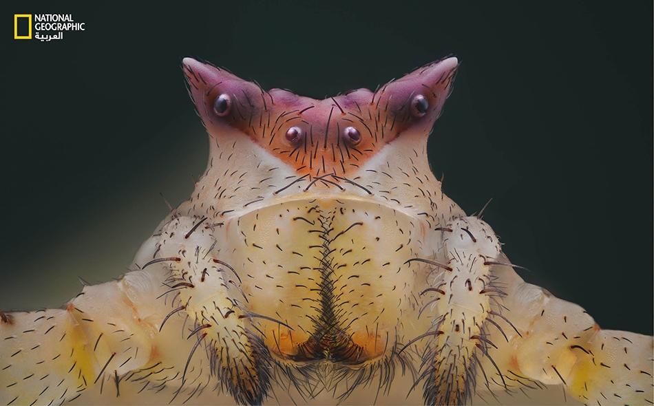 """سُميَّ """"العنكبوت السلطعوني"""" كذلك بسبب صيده الفرائس بطريقة مشابهة للسلطعون البحري. يعكس جسم هذا العنكبوت الأشعة ما فوق البنفسجية، ما يتيح له فرصة خداع فرائسه عن طريق تغيير لونه ليتماهى مع لون الزهور التي يتربص فوقها."""