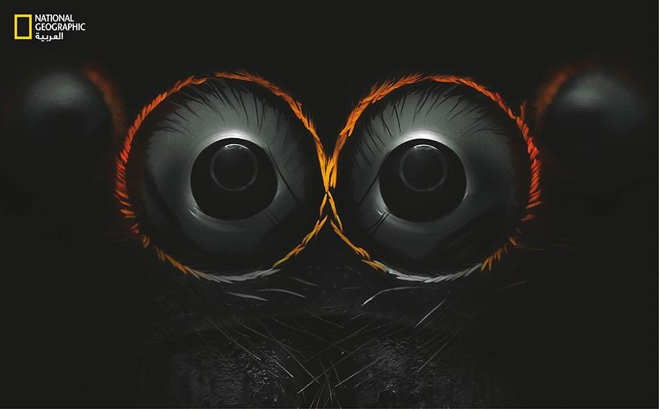 """يتمتع """"العنكبوت القافز"""" بثماني عيون تحوي شبكيات فريدة تساعده على تقدير المسافات. يستطيع هذا المفترس الصغير أن يَثِبَ مسافات تفوق طوله بأكثر من عشر مرات اعتماداً على حسابات بصرية معقدة."""