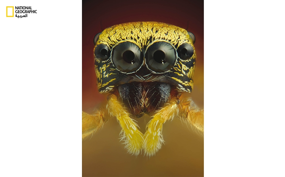 العنكبوت القافز: يتمتع هذا المفترس الصغير ذو اللون الأصفر الفاقع -شأنه كشأن فصيلة العناكب القافزة كلها- والذي ينتمي إلى جنس (Heliophanillus fulgens)، بقدرات بصرية خارقة تمنحه إياها عيناه الرئيستان الأماميتان.