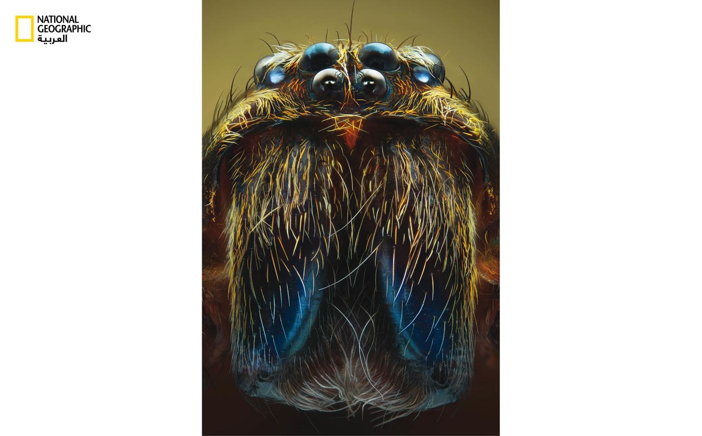 العنكبوت الجوَّال: تتميز هذه العناكب بحجمها الكبير، ما يضفي عليها مهابة في عالم المخلوقات الصغيرة الحجم من مثل الفئران والقوارض. تستعين هذه العنكبوتات بأعينها الثماني القادرة على تمييز أدنى حركة في الظلام الشديد.