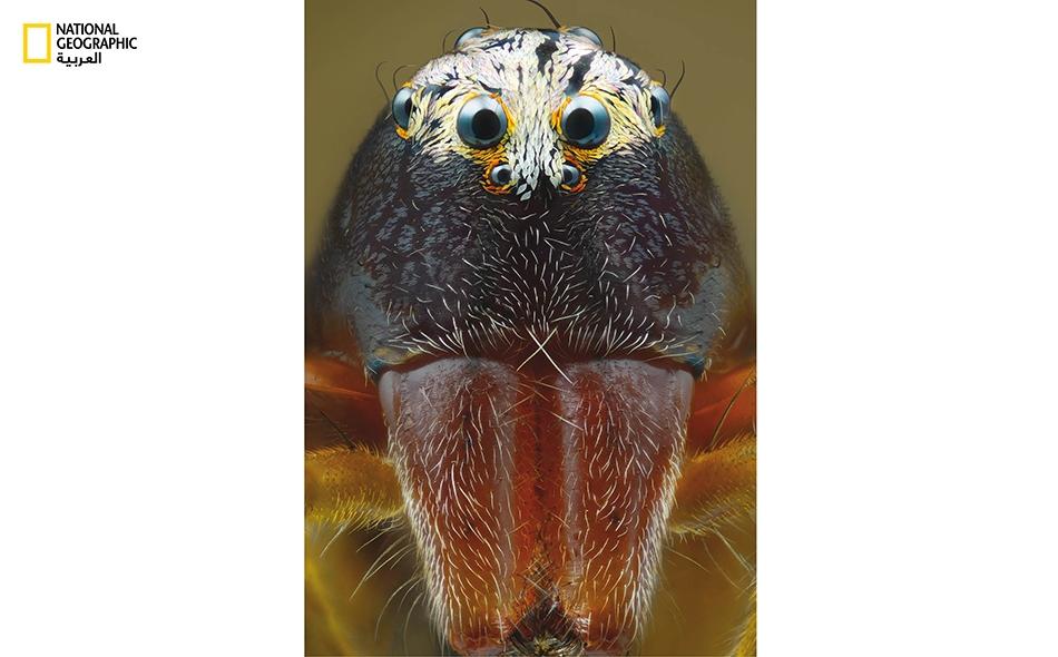 """تمنح أعين """"عنكبوت الوشق"""" الست الكبيرة التي تتوزع على شكل تاج سداسي متساوي الأضلع، قدرات بصرية خارقة على امتداد 360 درجة. يستغل هذا المفترس المخيف قدراته البصرية الحادة في نصب الكمائن لفرائسه."""