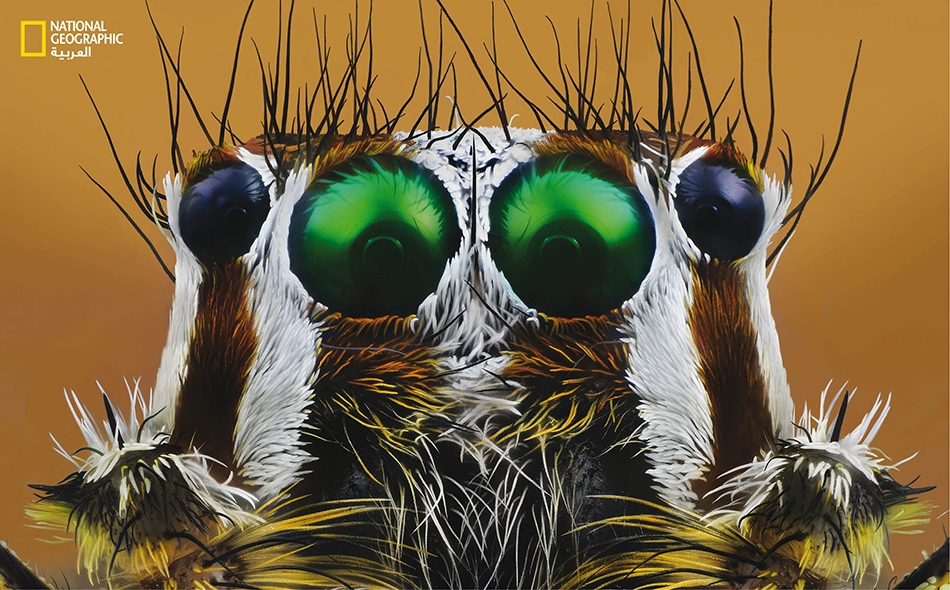 """يتميز رأس """"العنكبوت القافز"""" من جنس (Plexippus paykulli) بخطوطه البيضاء، وبشعيراته الشوكية السوداء الطويلة التي تعمل على حماية أعينه الثماني من أي ضربات قد تتلقاها خلال الالتحامات."""