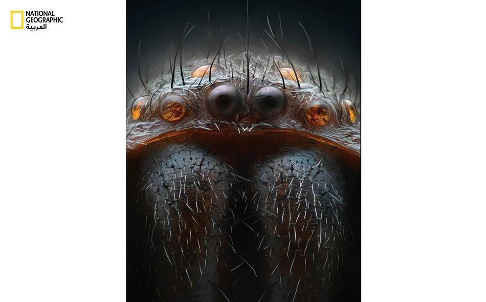 العنكبوت الكيسي: يتمتع هذا العنكبوت بثماني أعين، منها اثنتين رئيستين وست ثانوية مرتبة في صفين. تعد الشعيرات الصغيرة الكثيفة المنتشرة بين الأعين بمنزلة أجهزة استشعار دقيقة تتجاوب مع أرهف الذبذبات الهوائية، وهي تنبه العنكبوت إلى ضرورة توجيه بصره ناحية...