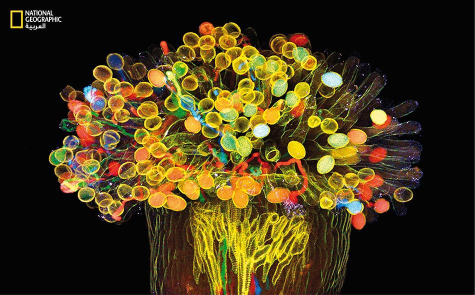 إن البروتينات الفلوريّة (المشعّة) في نبات رشاد الصخر (Arabidopsis) الشفّاف هذا، تساعد العلماء على رصد طريقة تفاعل البروتينات المختلفة مع نسيج النبات بدقة شديدة.