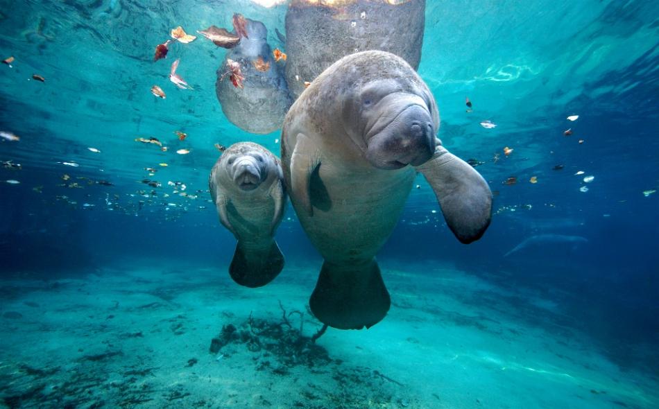يتغذى خروف البحر على الأعشاب البحرية، ويمكن أن يزن أكثر من 1350 كيلوجراما.