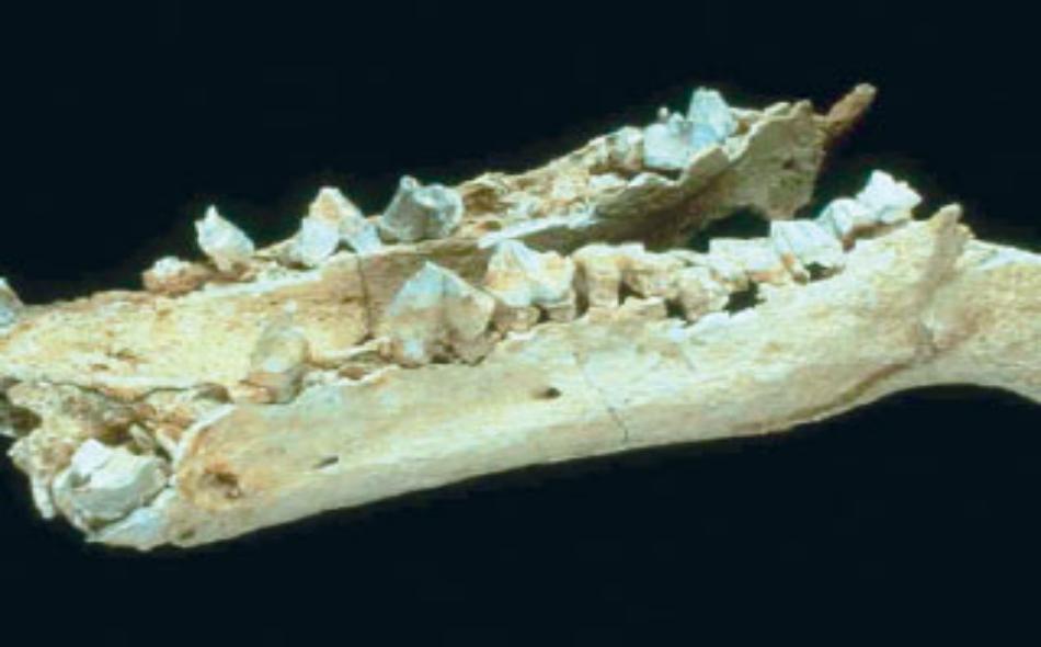 عظام أحفورية لأحد أفراس النهر المنقرضة بمنطقة الظفرة في أبوظبي.