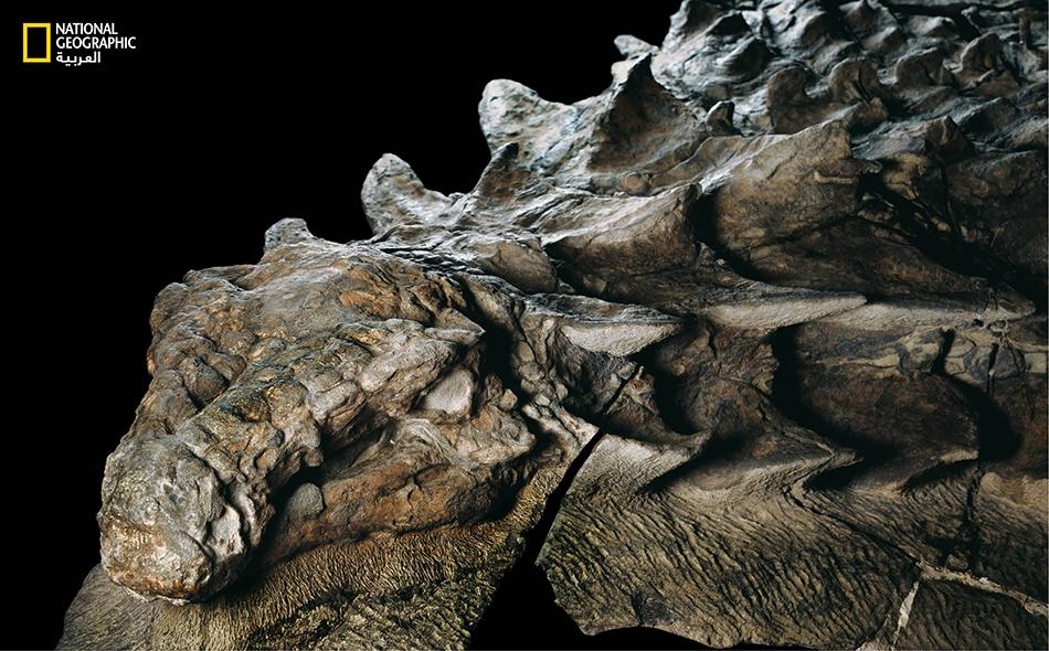 قبل نحو 110 ملايين عام، كان هذا العاشب المدرَّع يتنقل عبر ما يسمى الآن غرب كندا، إلى أن جرفه فيضان نهر إلى البحر. ولَمَّا ظل الديناصور مطمورا في الأعماق، فقد احتفظ درعه بكل تفاصيله الرائعة.