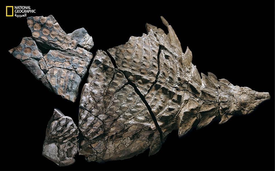 ربما كانت أحشاء النودوصور تحوي مَعْياً غليظا معدَّلا يتخمر فيه طعامه، مثل السحالي العاشبة اليوم.
