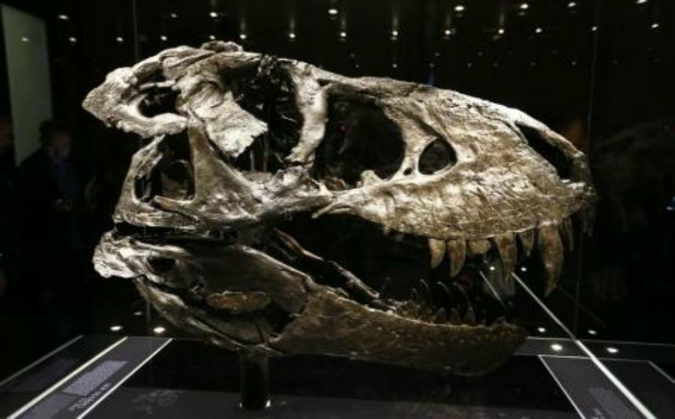 صورة أرشيفية، لجمجمة أصلية لالتيرانوصور ركس (تي ركس) في متحف ببرلين بألمانيا.