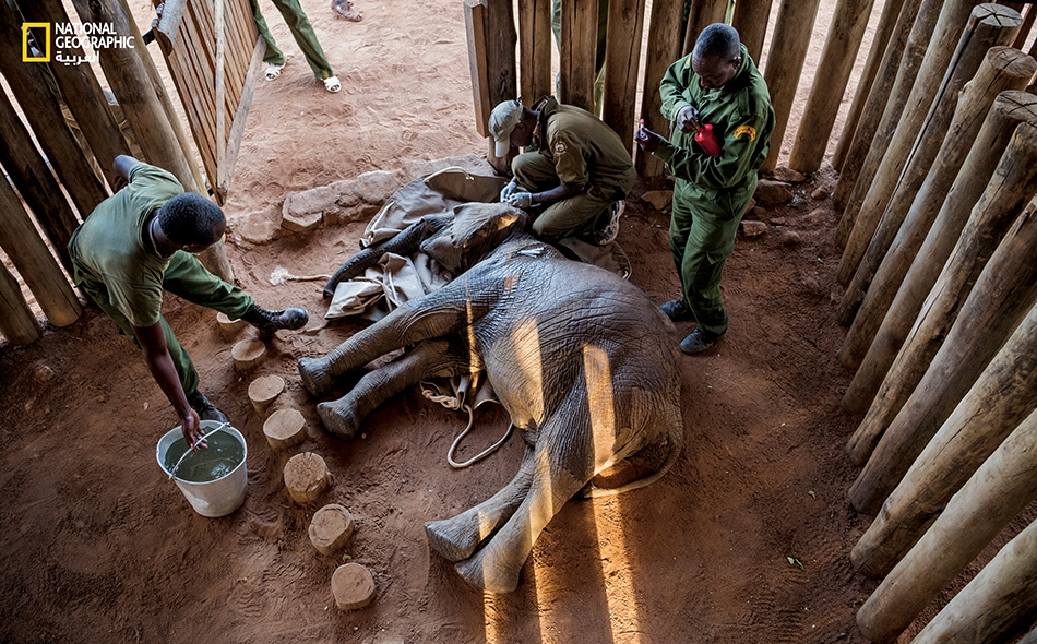 """يقوم """"ماثيو موتيندا"""" -طبيب بيطري لدى """"هيئة الحياة البرية في كينيا""""- بفحص صغير فيل عمره 18 شهراً، أُطلِق عليه اسم """"موغي""""؛ وهو لا يزال مخدَّراً بعد إنقاذه. كان أحدهم قد أردى أمّ الصغير بطلق ناري."""