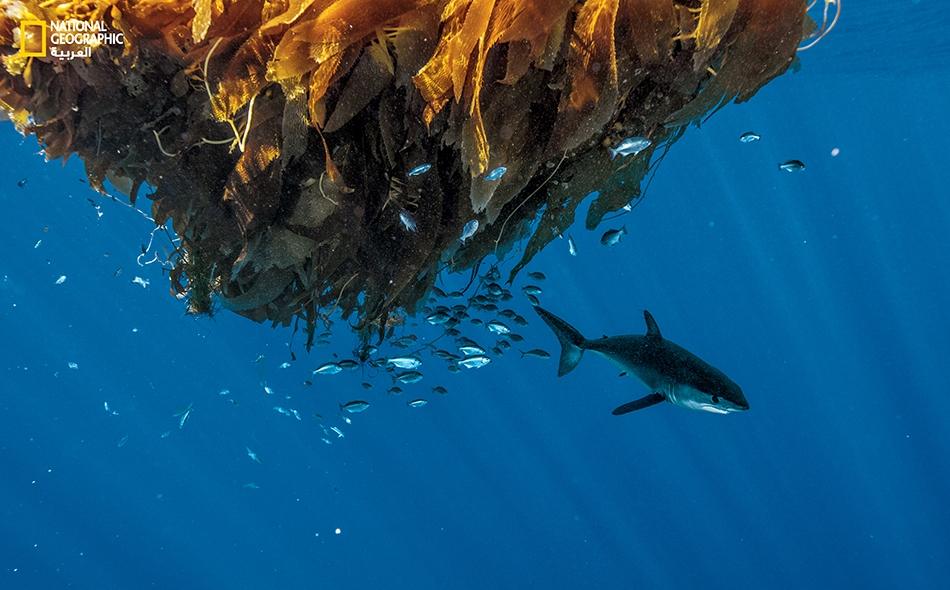 """قرش ماكو يتجول قرب ركام عائم من عشب البحر قبالة ساحل """"سان دييغو"""" بالولايات المتحدة."""