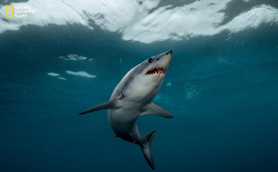 """إنها """"قذائف مدجَّجة بالأسنان""""، هكذا يصف المصور """"براين سكيري"""" أسماك قرش ماكو قصير الزعانف؛ معلقاً على هذا الذي في الصورة بأنّ """"أنفه مخروطي الشكل يخترق مياه المحيط اختراقاً""""."""