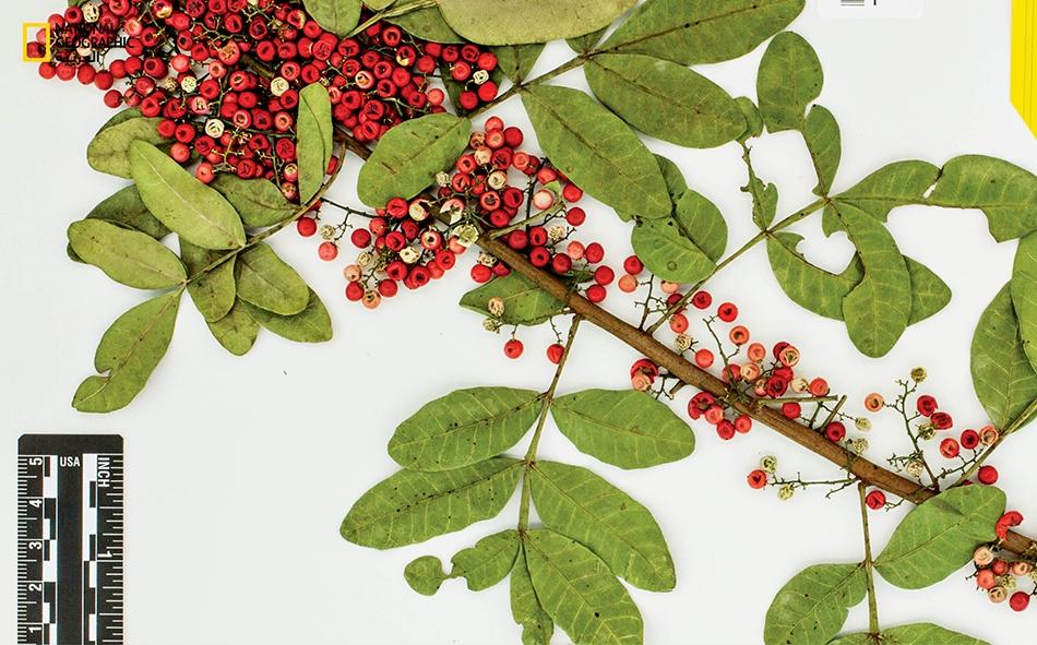 قُطعت هذه الشتلة الجافة والمضغوطة من إحدى أشجار الفلفل البرازيلي، وهي جزء من مجموعة عينات نباتية محفوظة في متحف النباتات التابع لجامعة إيموري.