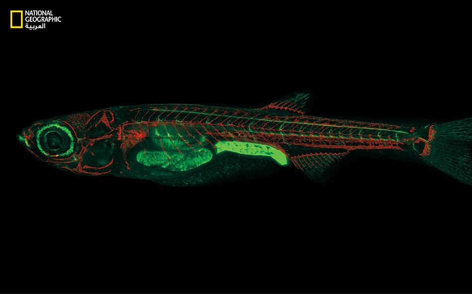 """تمتص أجنة سمك """"دانيو المخطط"""" العقاقير المضافة إلى الماء الذي تعيش فيه. استعملت هذه الأسماك بنجاح في ابتكار أدوية جديدة، ودخلت كثير من أدوية السرطان المجرَّبة عليها مرحلة التجارب السريرية."""