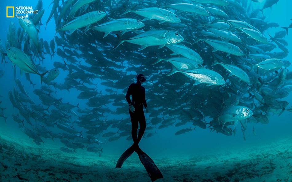 """غطَّاس يسبح مع سرب """"سمك جاحظ"""" في خليج كاليفورنيا قرب """"كابو بولمو""""."""