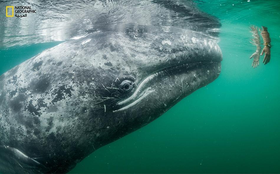 """سائح على متن قارب في خليج """"لاغونا سان إنياسيو""""، يمد يديه أسفل الماء على أمل ملامسة أحد الحيتان الرمادية التي تزور الخليج بكثرة للتزواج والاعتناء بصغارها."""