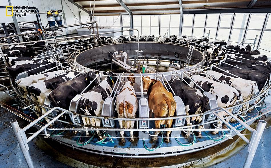 آلة حلب دوارة تمكِّن عاملا واحدا من حلب نحو 150 بقرة بالساعة في مركز الألبان التابع لجامعة فاغنينغن، حيث يسعى الباحثون إلى إيجاد حلول للتحديات التي تطرحها مزارع الأبقار في هولندا ذات الكثافة السكانية العالية.