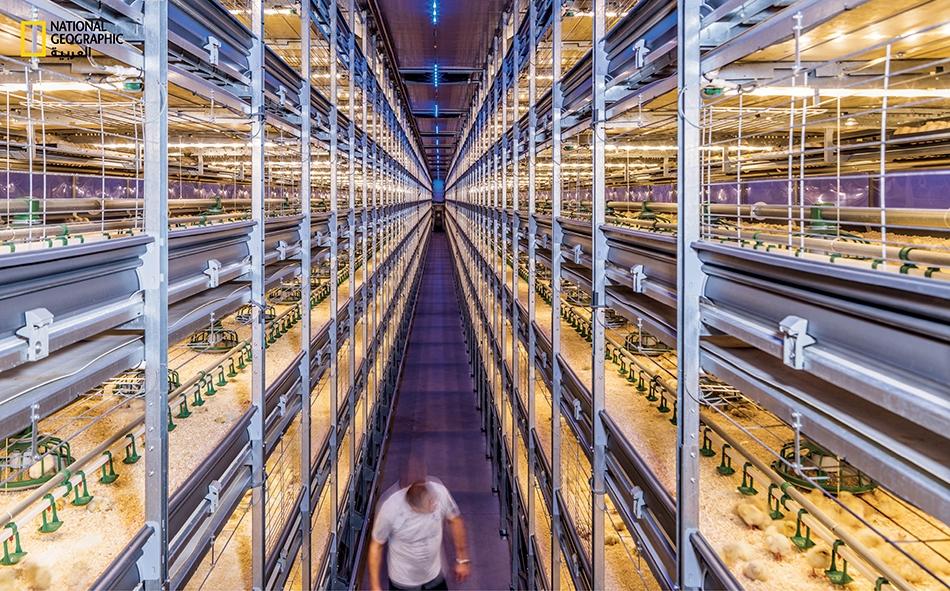 مع تنامي الطلب على الدجاج تُطور الشركات الهولندية تقنيات لرفع الإنتاج إلى حدوده القصوى مع الحفاظ على ظروف إنسانية.