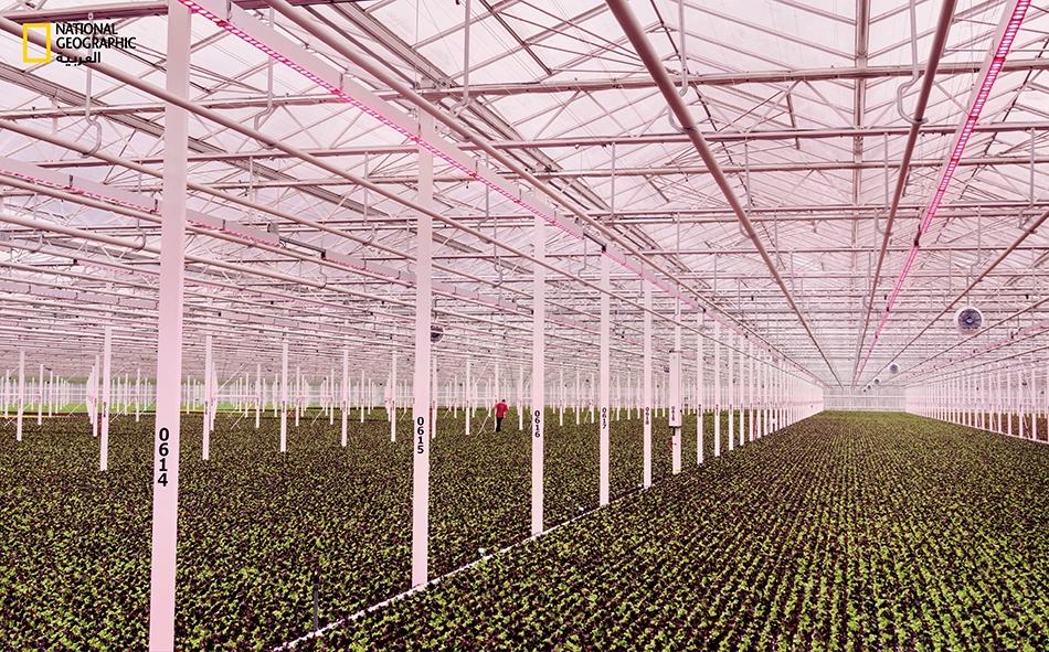 """توفر البيئة الداخلية الممتازة ظروفا ملائمة لنمو الخس وخضراوات مورقة أخرى في """"سيبيريا بي. في.""""."""