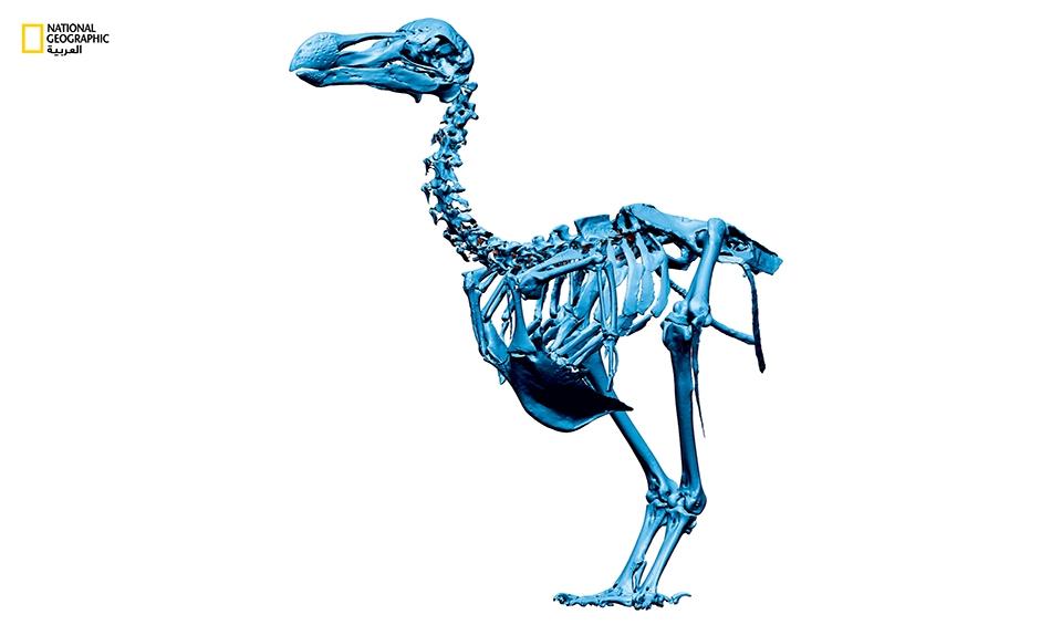 قال العلماء، استنادا إلى نماذج النمو التي توصلوا إليها من خلال فحص العظام، إلى أن الفراخ كانت تخرج من البيض وتنمو بسرعة لتصل إلى حجم الطيور البالغة بسرعة فائقة. وكان النمو السريع يعطي طيور الدودو ميزة تساعدها على البقاء والصمود أمام الأعاصير التي كانت...