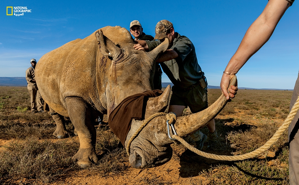تُعدّ التجارة العالمية في قرون وحيد القرن محظورة بموجب معاهدة للأمم المتحدة.