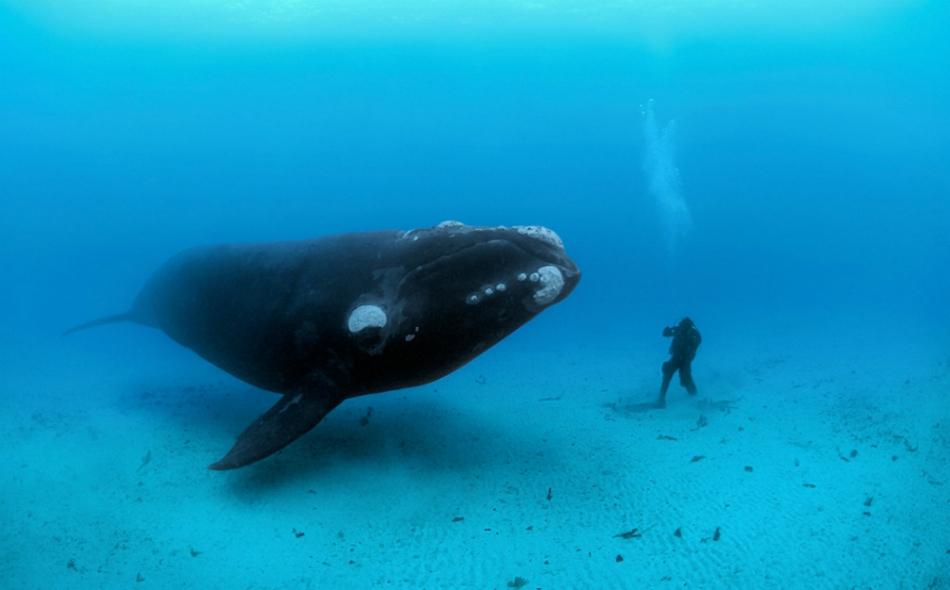 يوجد 500 من حيتان شمال الأطلسي الصائبة فقط في العالم. الصورة: Brian Skerry/National Geographic.
