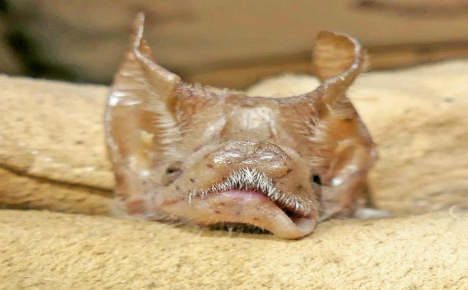 """يعيش خفاش """"مسقط فأري الذيل"""" في الكهوف والبنايات القديمة، حيث يمكن مشاهدة هذا النوع من الخفافيش في مستعمرات تتكون من عدة مئات منها."""