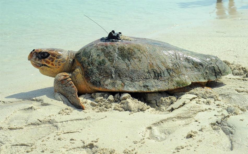 جهود كبيرة تبذلها الإمارات لحماية السلاحف البحرية من خطر الانقراض. الصورة: wam.ae