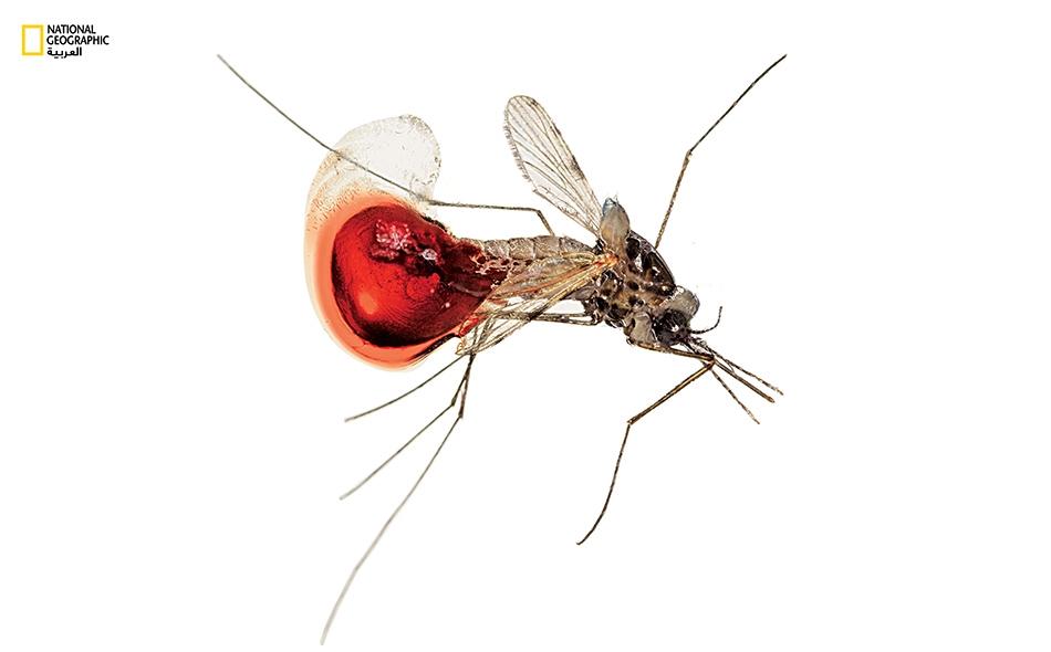 """وضح الباحثون أن """"التطور الحديث للمرض"""" أظهر مقاومة لمجموعة عقاقير """"الأرتيميسينين"""" لعلاج الملاريا. ويُصاب نحو 212 مليون شخص في العالم سنويا بالملاريا. الصورة أرشيفية"""