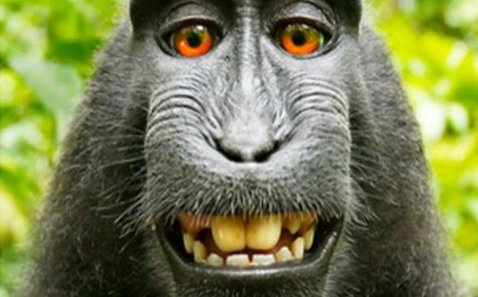 """كان قرد يدعى """"ناروتو"""" وهو من نوع قردة المكاك، قد التقط لنفسه صورة في الغابة الإندونيسية عام 2011"""