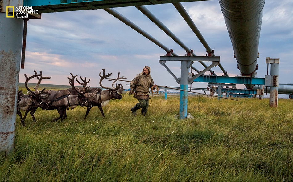 """يقود """"نيادما خودي""""، أحد رعاة الـ""""نينيت""""، قطيعه أسفل خط أنابيب قرب حقل غاز """"بوفانينكوفو"""" في شبه جزيرة """"يامال"""" بسيبيريا. كانت الحيوانات تخشى الاقتراب من هذه الأنابيب بُعيد تشييدها هنا، ولكنها اليوم تتبع نيادما في طمأنينة على الطريق إلى مراعي الشمال الصيفية."""