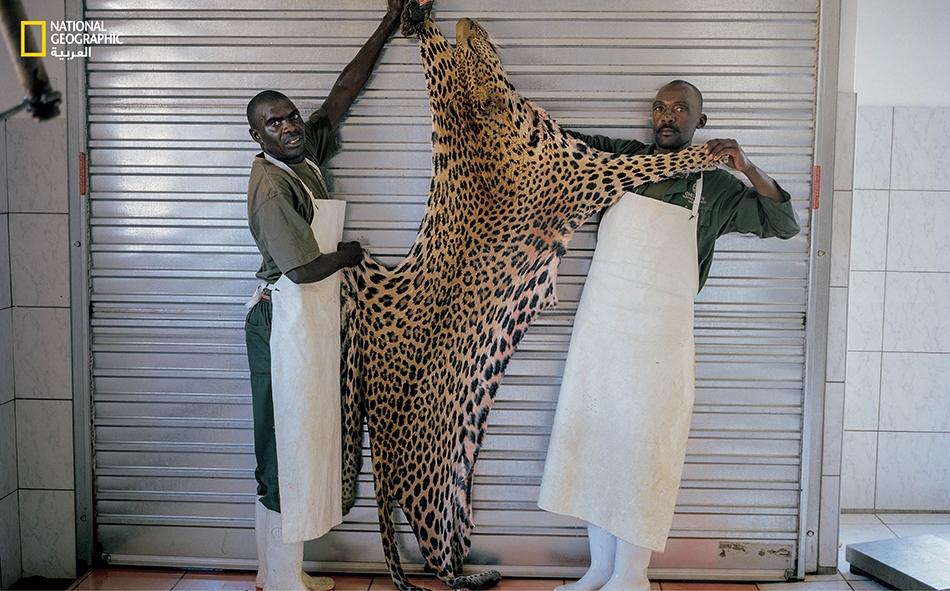 دباغان من ناميبيا يمسكان فرو فهد اصطاده مدير صندوق تحوط أميركي عام 2011. تعد الفهود حيوانات مراوغة، لذا يستعان بالكلاب لتعقبها. حظرت ناميبيا فيما بعدُ توظيف الكلاب لأن عدد الفهود تقلص بشكل خطر.